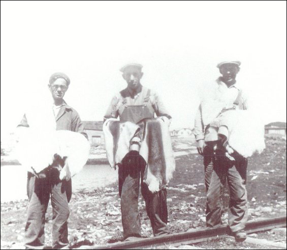 Fishermen's Union Trading Company employees Jack Norman, William Sutton and Tom Russell with tanned seal pelts.