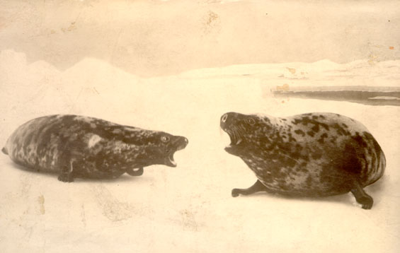 Two seals on ice