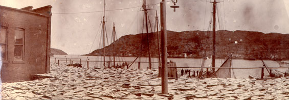 Panorama of codfish spread for drying at Job Brothers & Co. north side premises, St. John's harbour