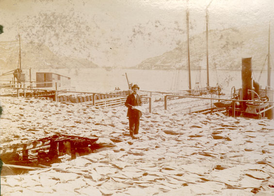 Codfish spread for drying at Job Brothers & Co., north side premises, St. John's harbour