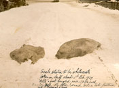 Seals stated to be whitecoats taken in the gulf 5 February 1927.  Pelts and fat weighed over 50 lb each.  One sculped, the other round, but a bit flattened out of the original shape.