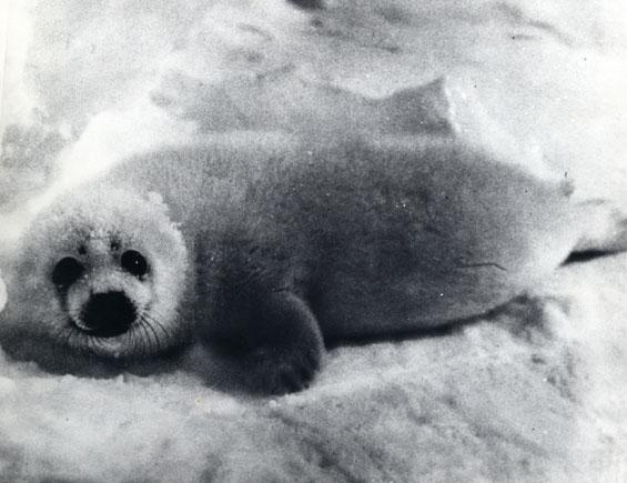 Whitecoat seal on ice