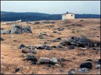 Caribou grazing at Cape Cove near Bernard Cluett's abandoned house, 199-