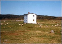 Sheep grazing at Cape Cove near Bernard Cluett's abandoned house, 199-
